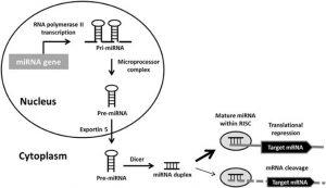 Figure: miRNA biogenesis